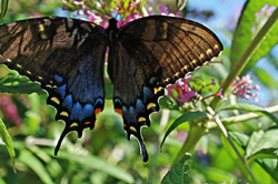Butterfly on my bush 4