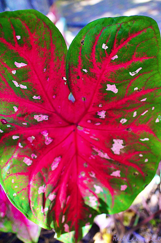Large Heart Leaf