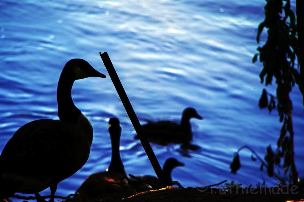 Geese Shadows