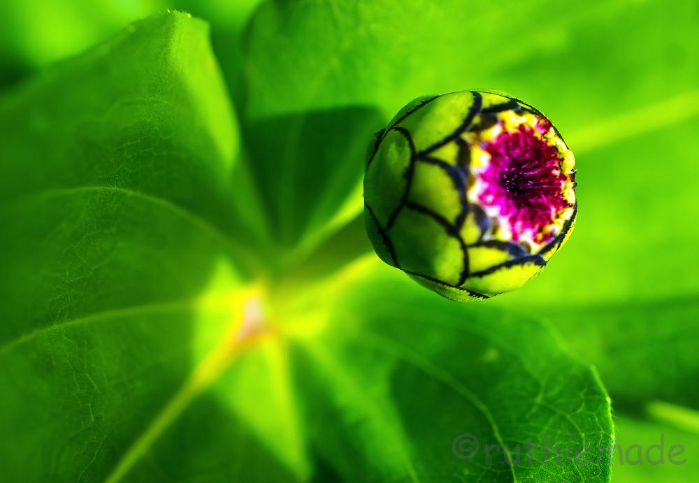 Flower Bud