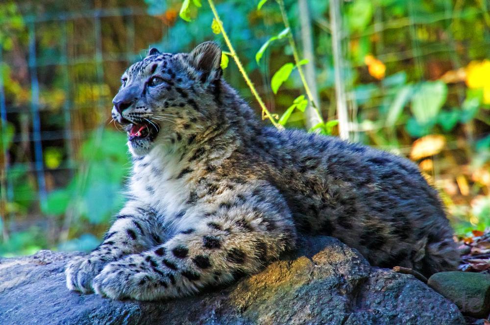 Baby Snow Leopard