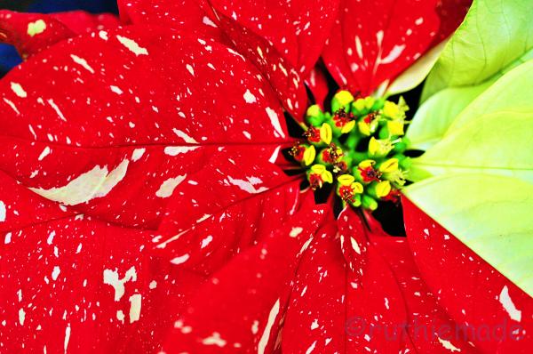 Poinsettia 1