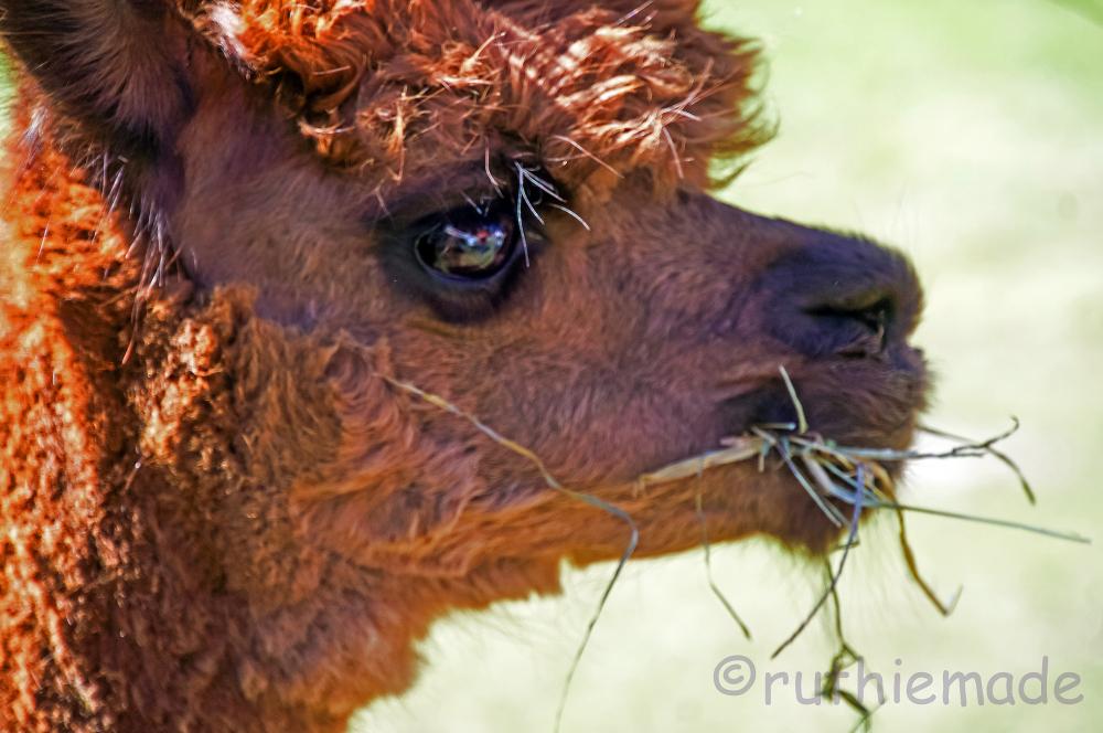 Alpaca straw