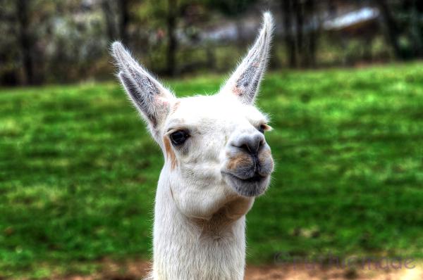 Am I a Llama?
