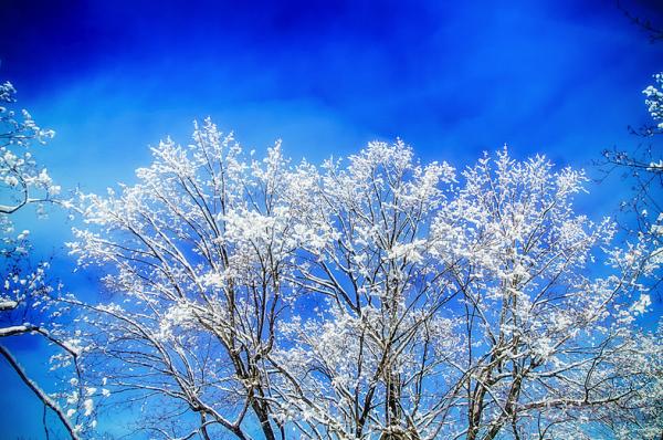 Snowy treetop