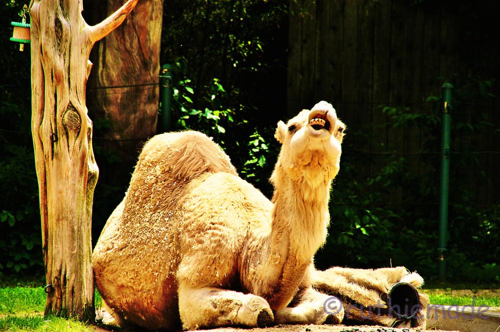 ST Camel Smile