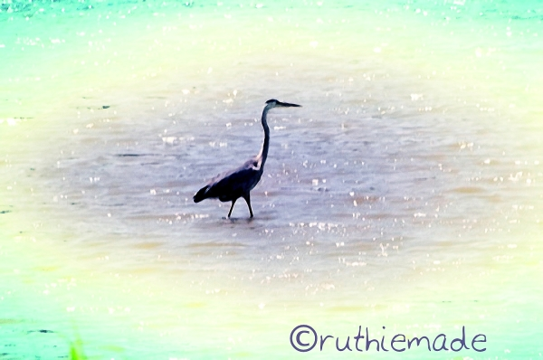 Heron in Water