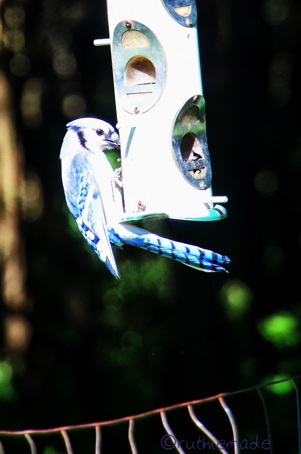 Hungry BLue Jay