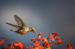 Colibri - My Summer Visitor