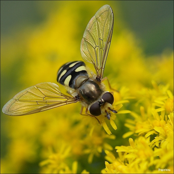 Hover Fly (Syrphus sp.)