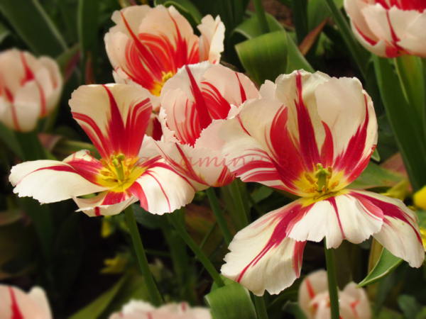 Mes Tulipes #03