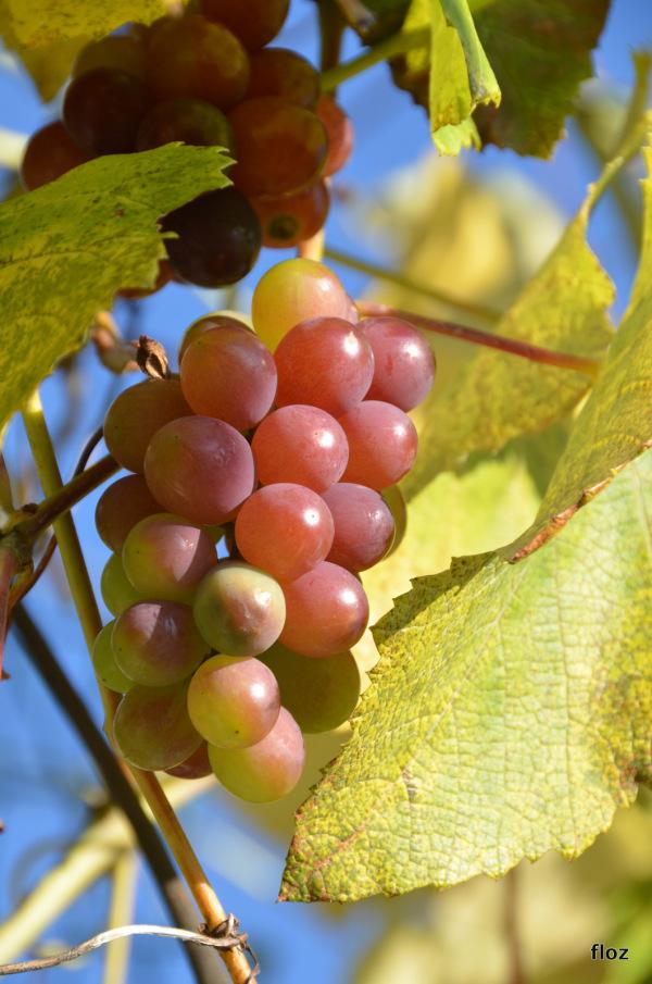 le raisin de novembre