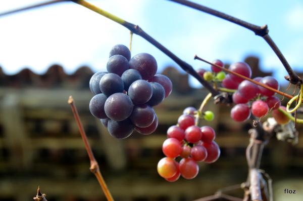 les ultimes raisins sans colère
