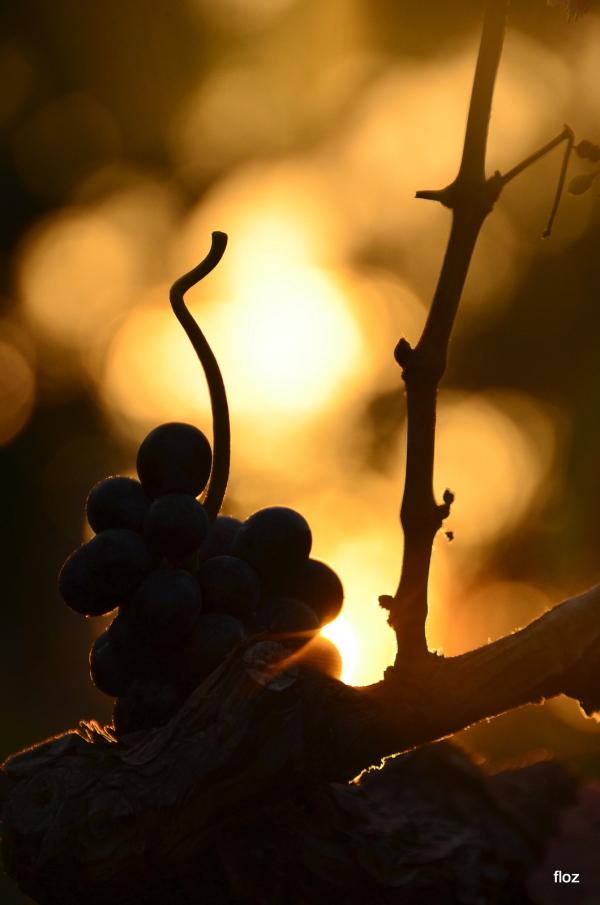 l'uva ...