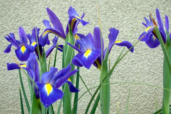Les iris bleus