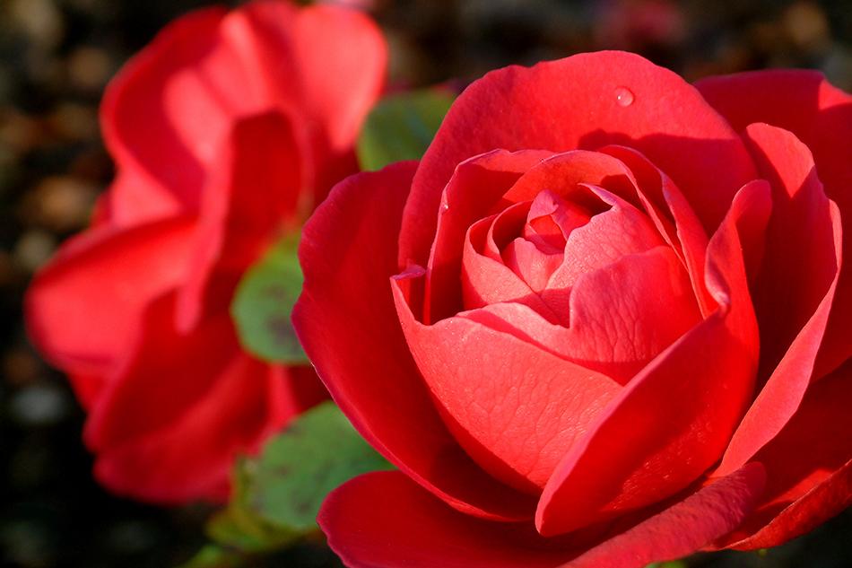 La larme de la rose