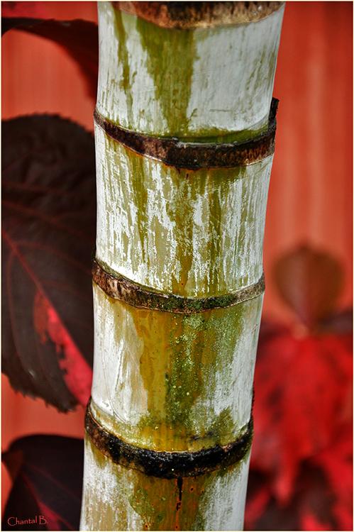 Le bambou après la pluie