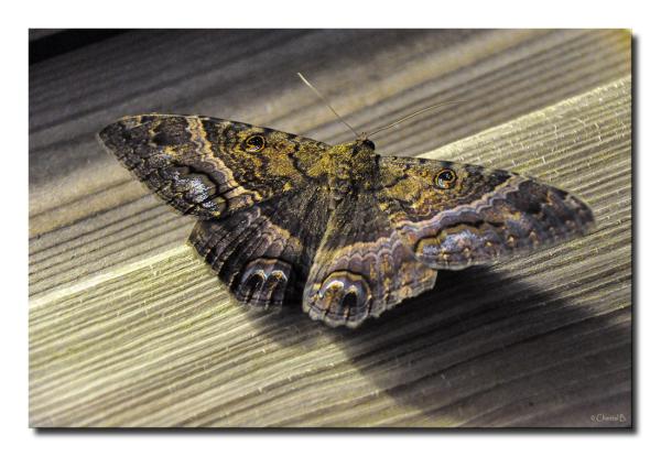 Ascalapha odorata (Martinique)