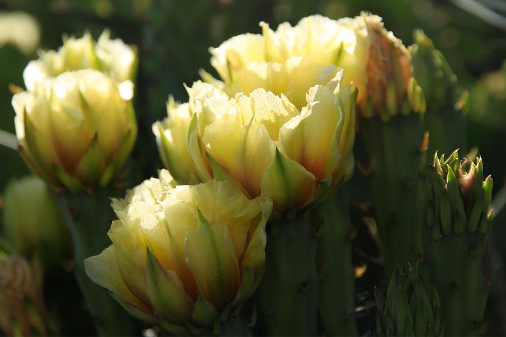 cactus vivace au Québec