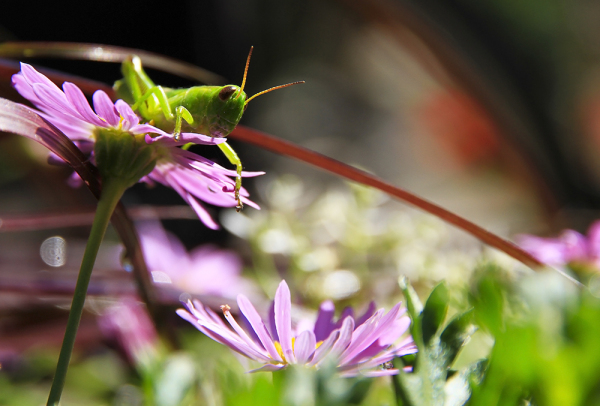 sauterelle au jardin