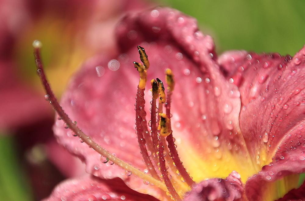 hemerocalle fleur gouttes-d eau water-drops jardin