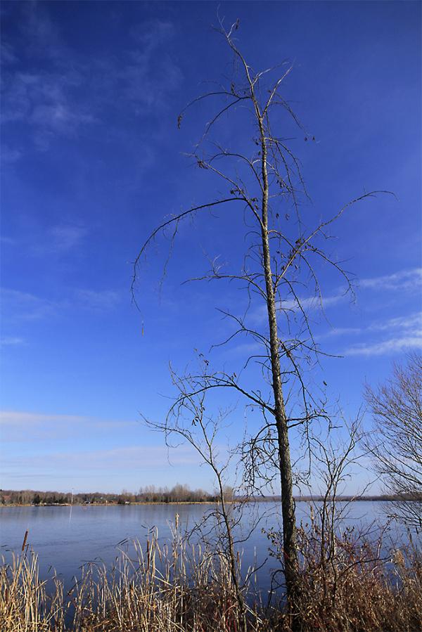 arbre frissonnant