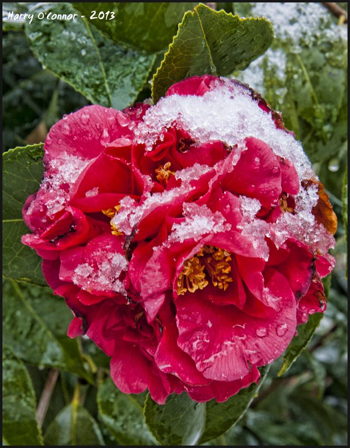 Snowy camilia
