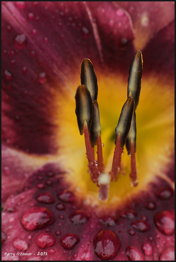 Lily with raindrops