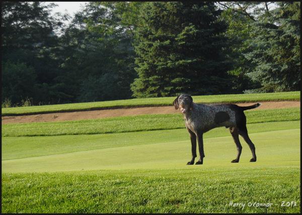Golf course dog