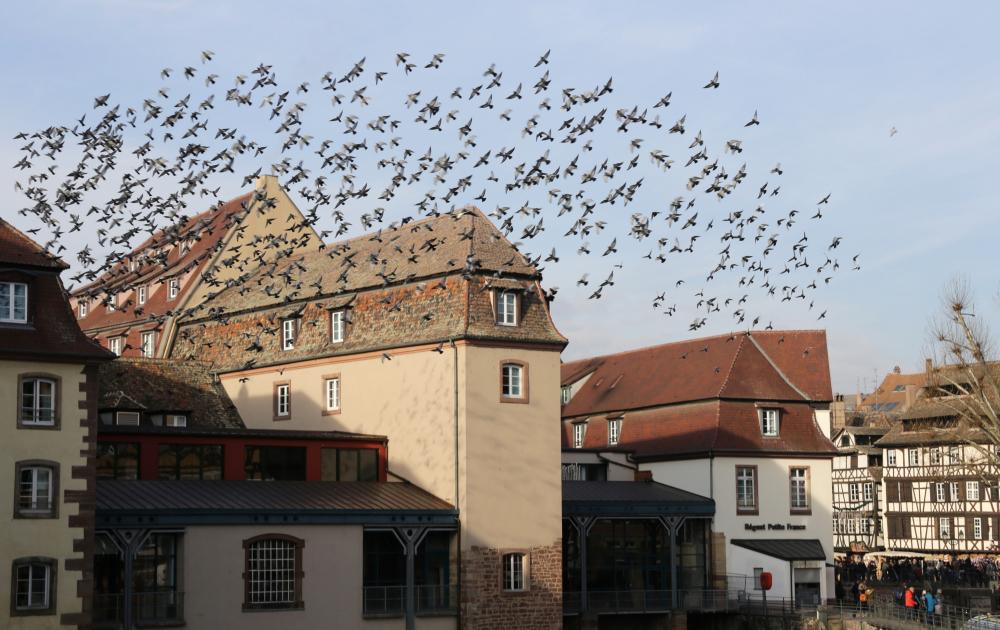 Panique chez les pigeons!