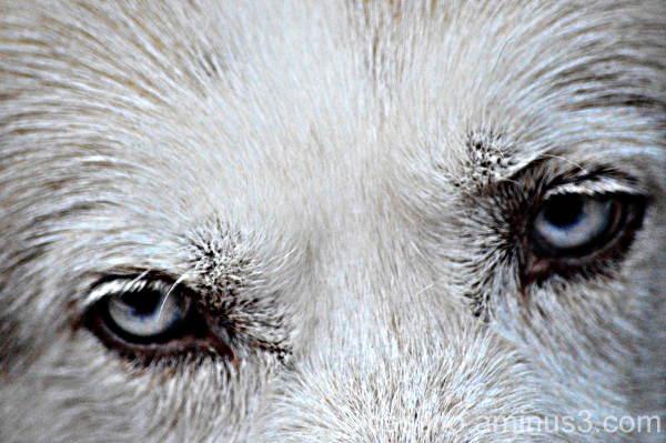 The Eye of a Wolf