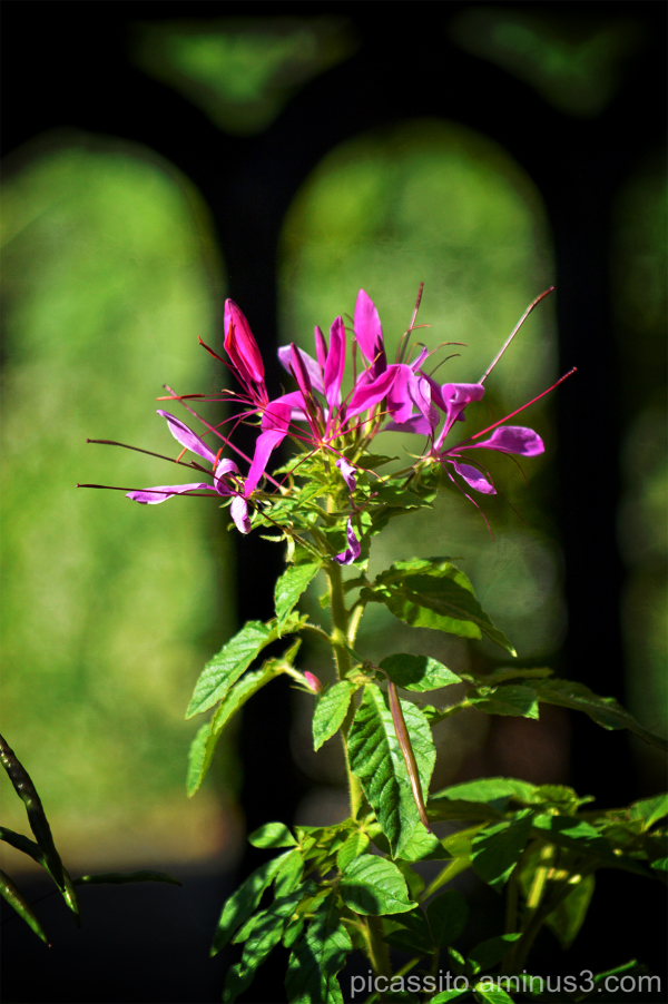 Purple Cleome Gate
