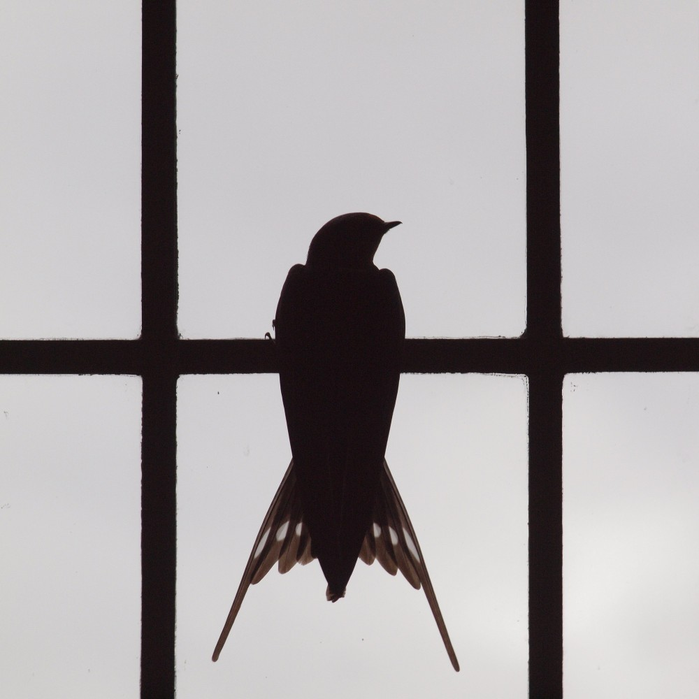 Swallow looking out of Kirk window