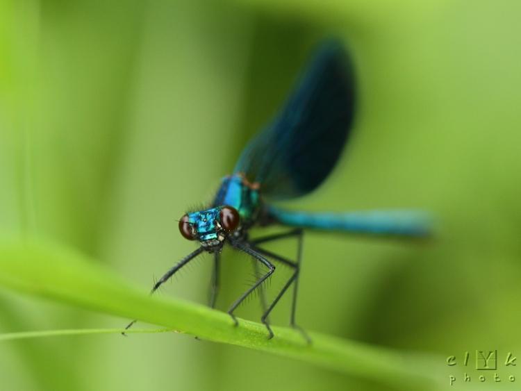 clYk macro odonates dragonfly demoiselle