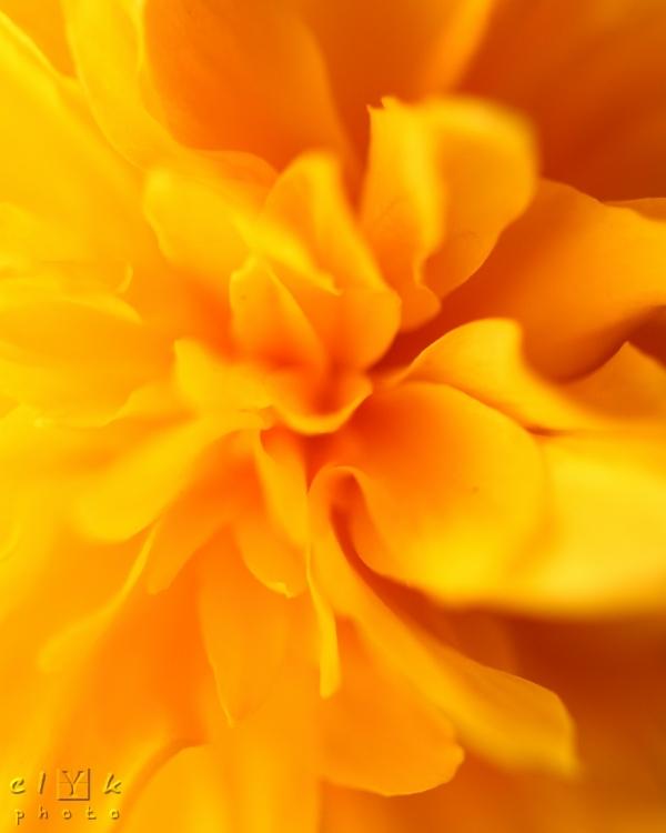 clyk macro heart flower coeur fleur kerria japonic