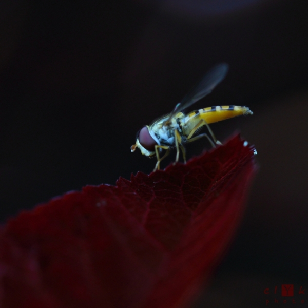clyk macro insect hoverfly syrphe insecte