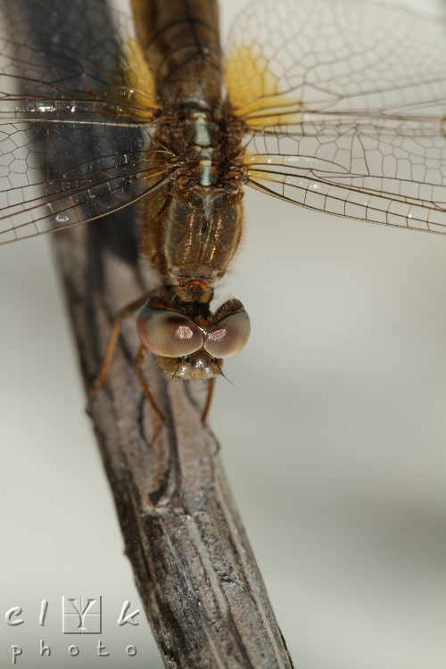 clyk macro insect odonates dragonfly libellule