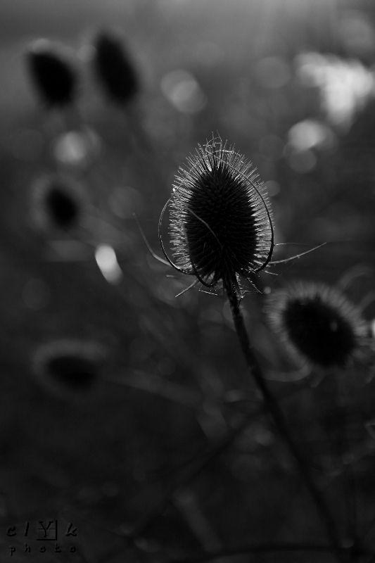clYk nature plant winter teasel hiver cardère