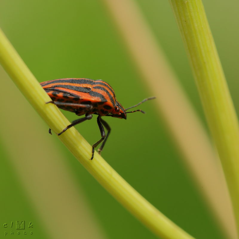 clYk  punaise arlequin Striped Bug
