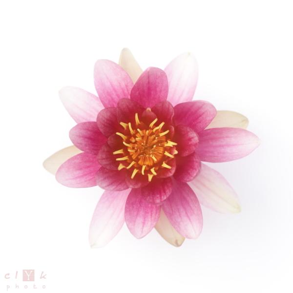 clyk nature flower fleur nénuphar