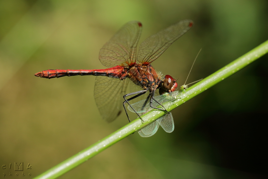clyk nature macro dragonfly prey libellule proie