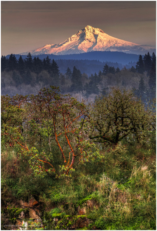 Mt. Hood from Camassia Natural Area