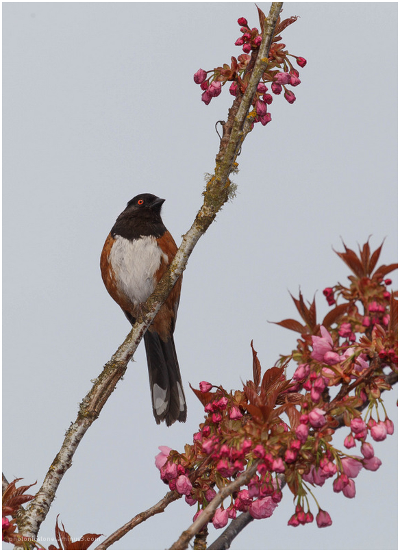 Spring Plumage 1 - Spotted Towhee
