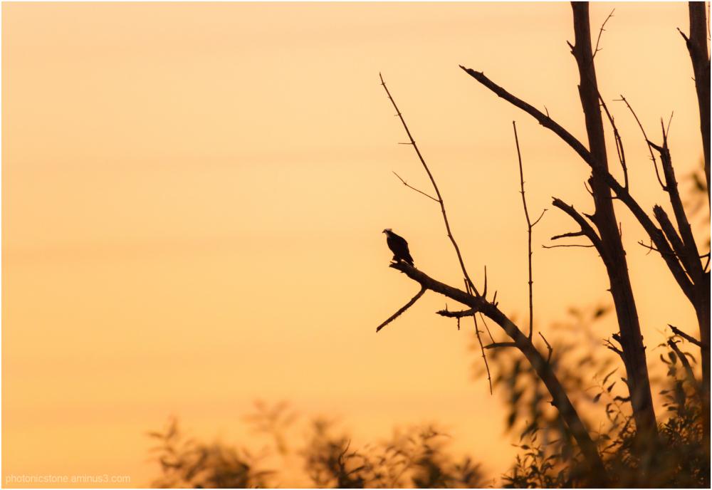 Osprey Sunrise