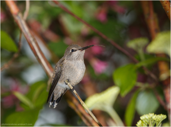 Anna's Hummingbird..resting