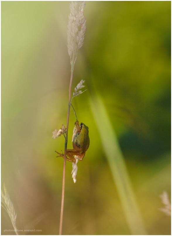 Tree Frog on grass - Jefferson Oregon