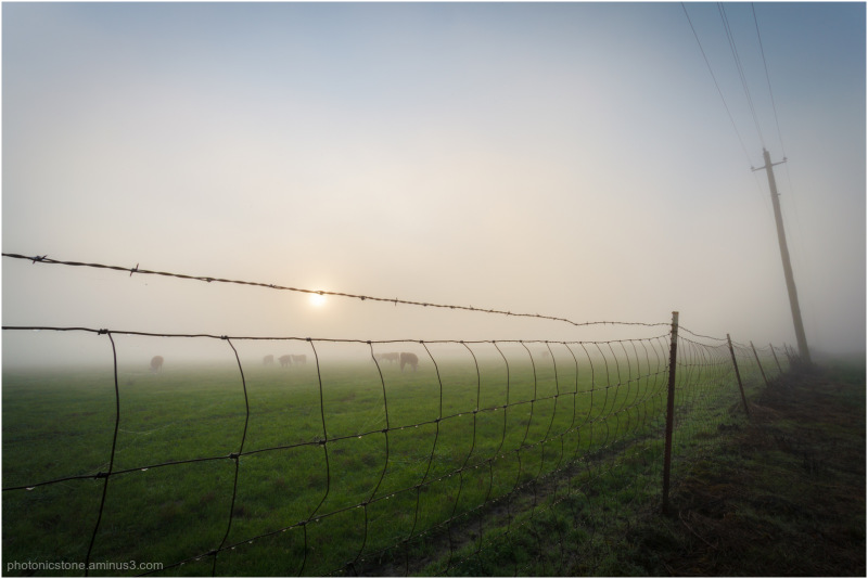 Cows in fog