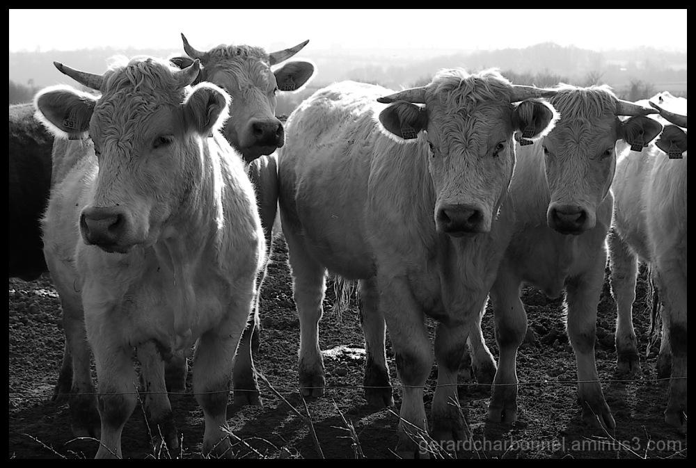 Vaches charolaises en Creuse