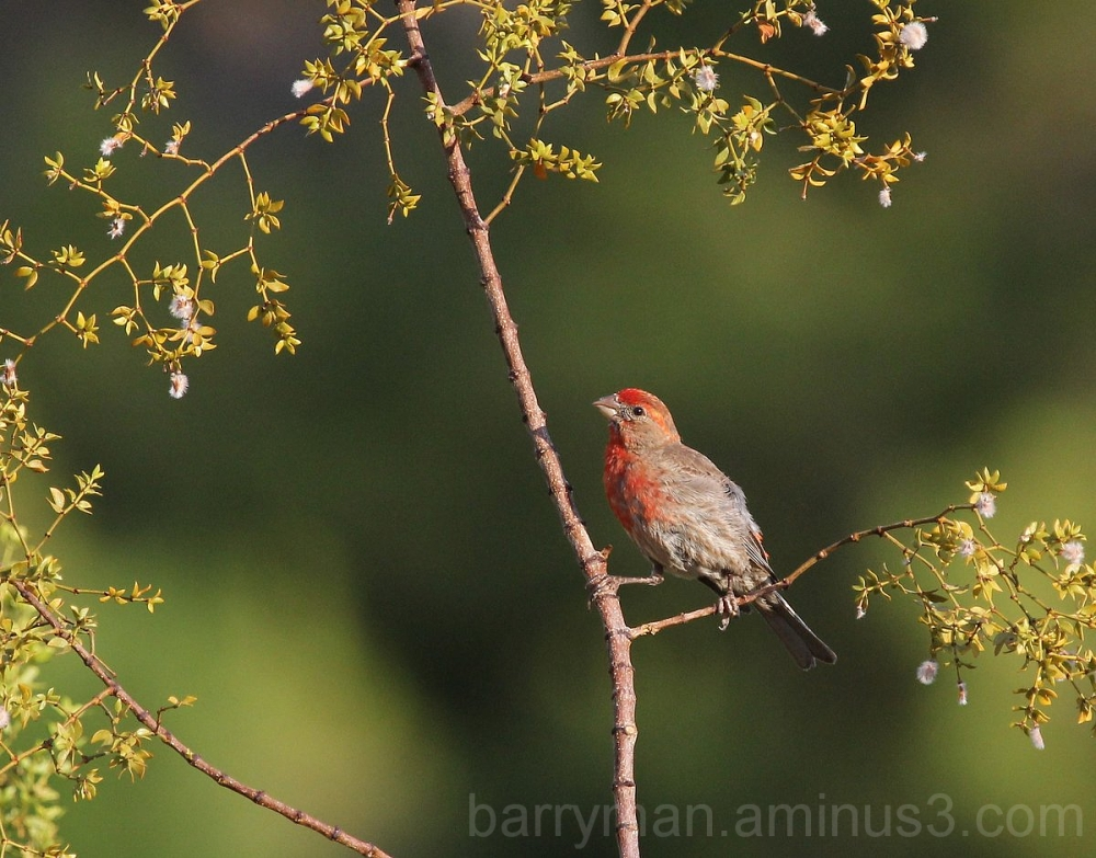 house finch bird