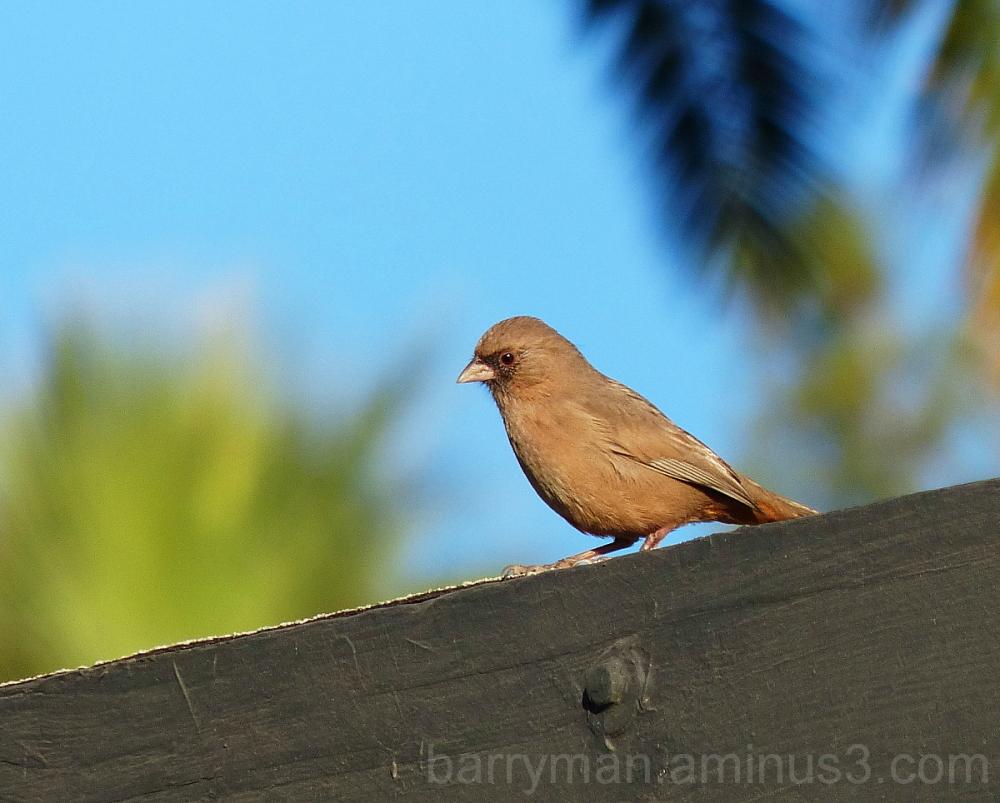 bird abert's towhee